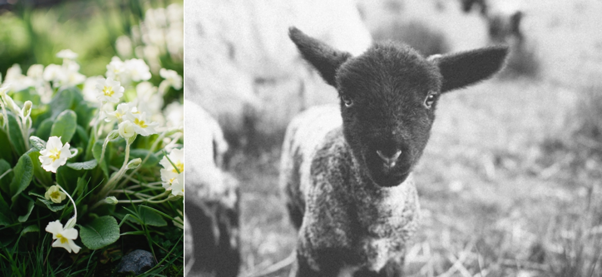 Masham x suffolk lamb