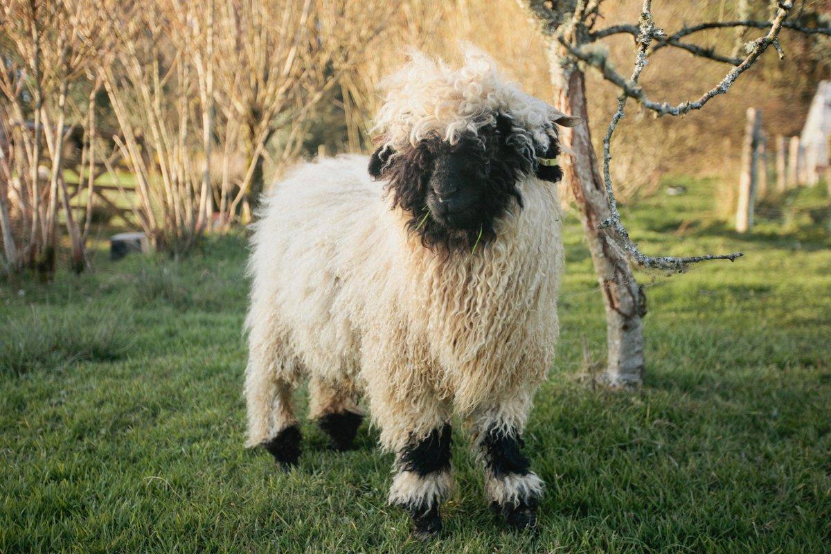 values black nose felted sheepskin
