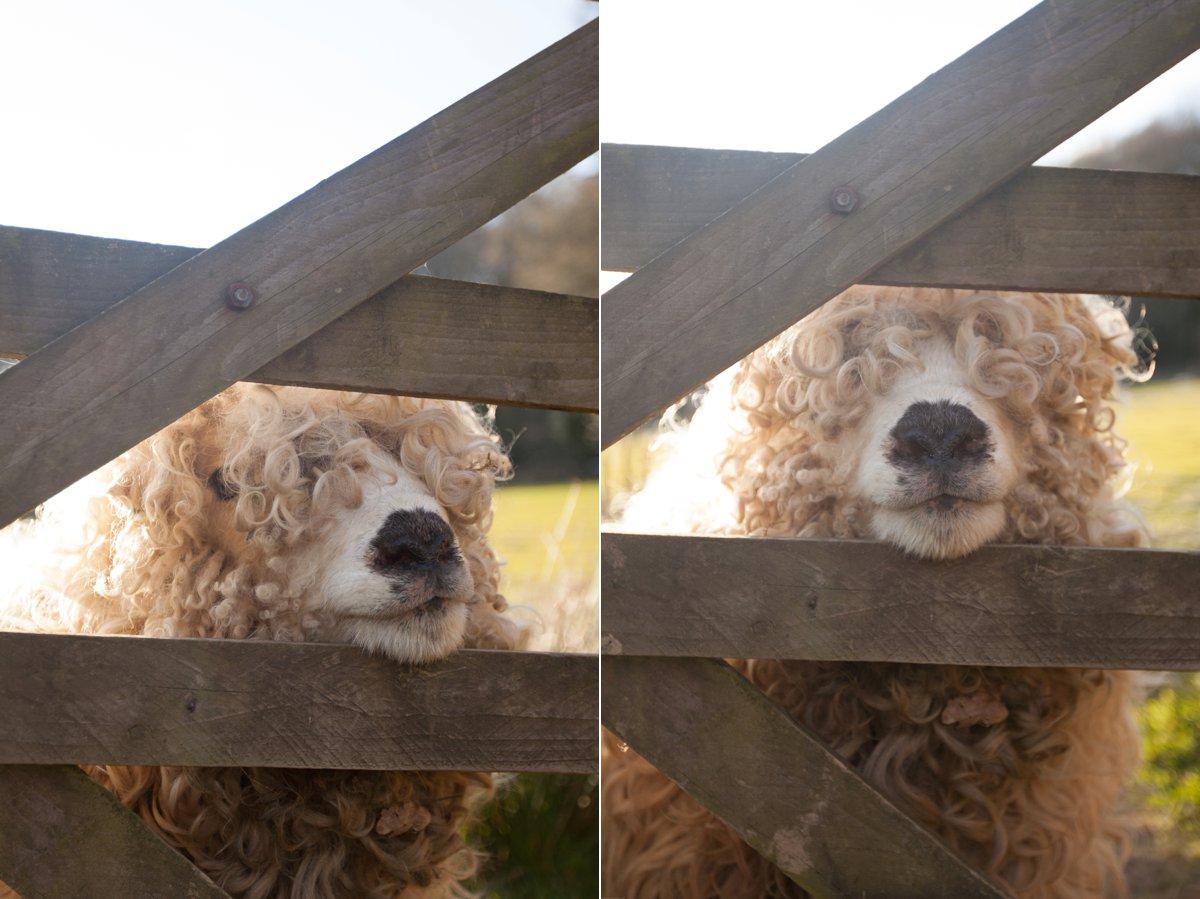 grey face dartmoor felted sheepskins