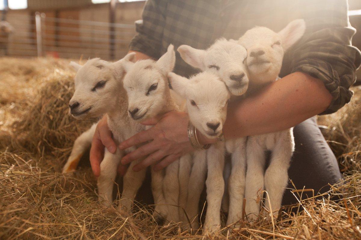 quintuplet lamb